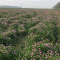 普济圩万亩紫云英赏花卉