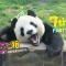 看#Zoo直播#,做任务,网红#大熊猫##飞云#的生日礼物就靠你啦!
