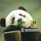 成都#大熊猫#繁育研究基地科普游