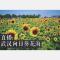 【看直播送门票!武汉郁金香主题公园】向日葵开放季,一起来看向日葵花海吧!#江湖直播#