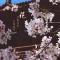 #华小商直播#樱花树下的约定,美女主播今年继续带你看青龙寺樱花。
