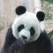 大熊猫吃月饼啦 # 大连森林动物园 #