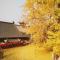 #华小商直播# 零距离赏古观音禅寺网红银杏 这个视角超震撼