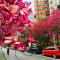 紫色大道开满紫玉兰 西安高新区的网红路 #玉兰盛开#
