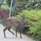 """稀客!野生毛冠鹿""""游览""""汉中天汉湿地公园 #保护野生动物#"""