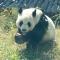 中秋节大熊猫除了月饼还吃啥?#大连森林动物园#