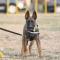 克隆警犬如何出生?供体DNA比对超99% 训练表现超普通犬