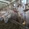 开饭喽 3000只奶山羊一拥而上 瞧瞧西安最大奶山羊种质资源保护场#订阅西安#