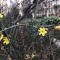 疫情下迎春花静静绽放 西安的春天悄悄来了