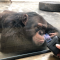 """黑猩猩爱看书 """"云游""""西安秦岭野生动物园去看大明""""猩"""""""