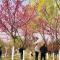 赏梅观柳放纸鸢 #春天来赏花#西安浐灞国家湿地公园春光明媚好不热闹