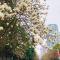 西安网红大道花开了 主播带你探探路#春天来看花#