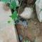 #华商直播帮 我为群众办实事# 长安区双竹村排污渠堵塞 污水倒灌排入农田